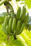 Пук банана около сбора Стоковая Фотография RF