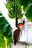 Пук банана с смертной казнью через повешение цветения банана от бананового дерева Стоковая Фотография RF