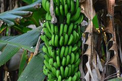Пук банана Яблока Стоковое Фото