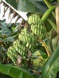 Пук банана saba на дереве Стоковые Фотографии RF