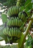 Пук бананов на дереве стоковое изображение