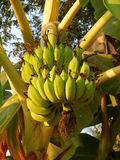 Пук бананов на дереве Стоковое фото RF
