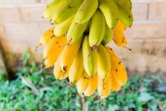 Пук бананов Стоковые Изображения RF