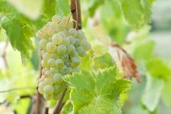 Пук белых виноградин на лозе Стоковое Фото