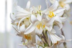 Пук белых лилий украшает комнату Белые цветки как gi Стоковое Фото