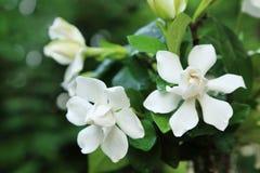 Пук белых цветков jasminoides Gardenia стоковая фотография