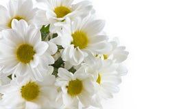 Пук белой хризантемы Стоковое Изображение RF