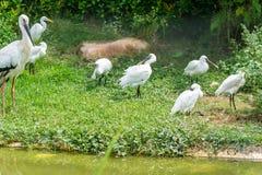 Пук белых птиц egret стоя в береге озера Стоковые Фотографии RF