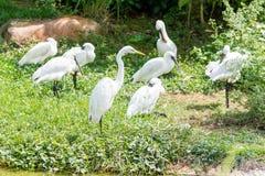 Пук белых птиц egret стоя в заболоченном месте Стоковые Изображения RF