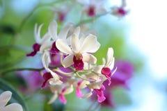 Пук белых розовых цветков орхидеи Стоковые Изображения RF