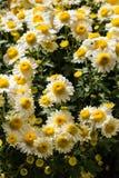 Пук белых хризантем Стоковая Фотография RF