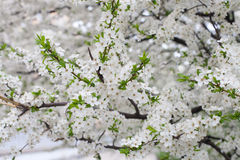 Пук белых цветков вишни Стоковая Фотография RF