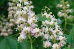 Пук белых цветков дерева каштана конского стоковые фотографии rf