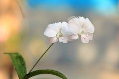 Пук белых цветков орхидеи Стоковые Изображения