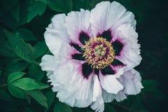 Пук белых цветков пиона Стоковые Изображения RF