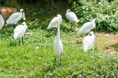 Пук белых egrets стоя в заболоченном месте Стоковое Изображение