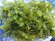 Пук виноградины морской водоросли Стоковое Фото