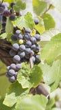 Пук виноградины сочный вертикально Стоковые Изображения