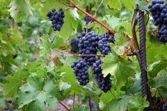 Пук виноградины Стоковые Изображения RF
