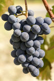 Пук 04 виноградины Dolcetto зрелый, Пьемонт, Италия Стоковые Фото