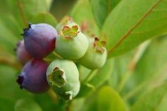 Пук голубики с зрея ягодами Стоковые Изображения RF