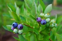 Пук голубики с зрея ягодами Стоковое Изображение RF