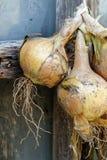 Пук желтых луков вися и суша вне деревенского windo Стоковая Фотография RF
