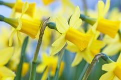 Пук желтых цветков narcissus Стоковые Фотографии RF