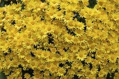 Пук желтой предпосылки текстуры маргариток Samp конца-вверх квадратное Стоковая Фотография RF