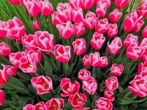 Пук живых розовых тюльпанов Стоковое Фото