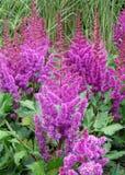 Пук зацветая цветков Younique яркого фиолетового Astilbe Cerise с зеленой листвой Стоковые Изображения
