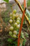 Пук зеленых виноградин в саде после дождя Стоковое Изображение