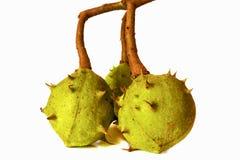 Пук 3 зеленых незрелых плодоовощей Aesculus каштанов конских Стоковые Фото