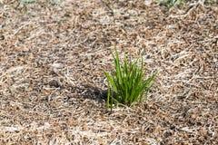 Пук зеленой травы Концепция выживания и процветания Стоковая Фотография RF