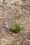 Пук зеленой травы Концепция выживания и процветания Стоковое Изображение RF
