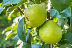 Пук зеленых груш на ветви дерева Стоковые Фотографии RF