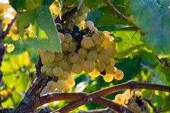 Пук золотых виноградин вися на запасе лозы на дворе вина, плантации Стоковое Изображение RF