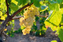 Пук золотых виноградин вися на запасе лозы на дворе вина, плантации Стоковые Фото