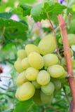 Пук зрелых белых виноградин на кусте Стоковые Изображения RF