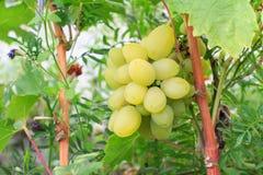 Пук зрелых белых виноградин на кусте Стоковые Фотографии RF