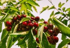 Пук зрелых вишен на вишневом дереве Стоковая Фотография RF