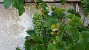 Пук зрелых зеленых виноградин растя на лозе с листьями видеоматериал
