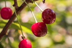 Пук зрелых кислых вишен вися на дереве Стоковое Фото