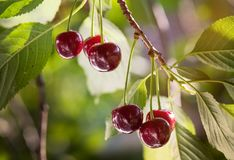 Пук зрелых кислых вишен вися на дереве Стоковое Изображение RF