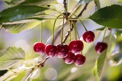 Пук зрелых кислых вишен вися на дереве Стоковые Изображения