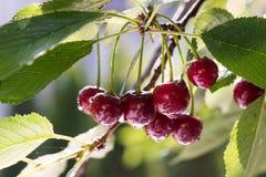 Пук зрелых кислых вишен вися на дереве Стоковая Фотография