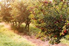Пук зрелых кислых вишен вися на дереве Стоковые Изображения RF