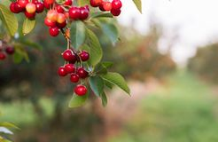 Пук зрелых кислых вишен вися на дереве Стоковое фото RF
