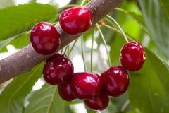 Пук зрелых красных вишен на ветви Стоковое Изображение RF