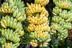 Пук зрелого банана в тропических странах Стоковые Изображения